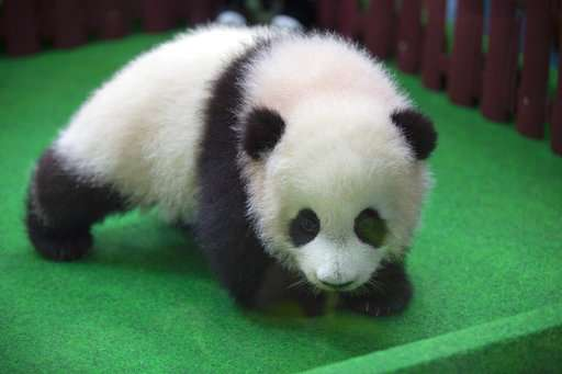 Baby panda born in Malaysia zoo makes public debut
