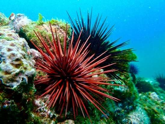 researchers assess how the quality of red sea urchin roe uni