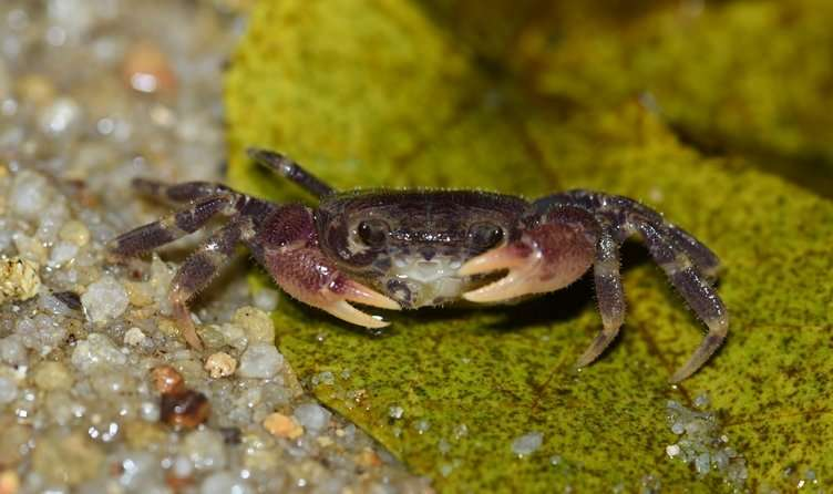 Critically endangered Singapore freshwater crab lives in genetically isolated populations