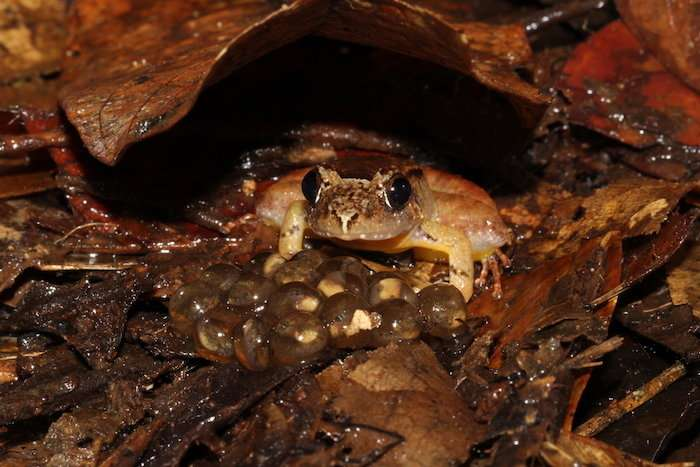 Extraordinary 'faithful father' revealed by study of smooth guardian frog of Borneo