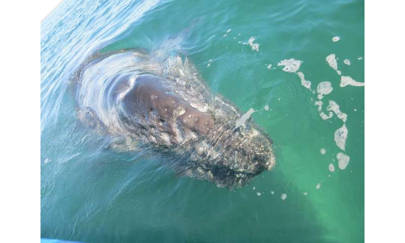 Genetic study provides new information about endangered whales