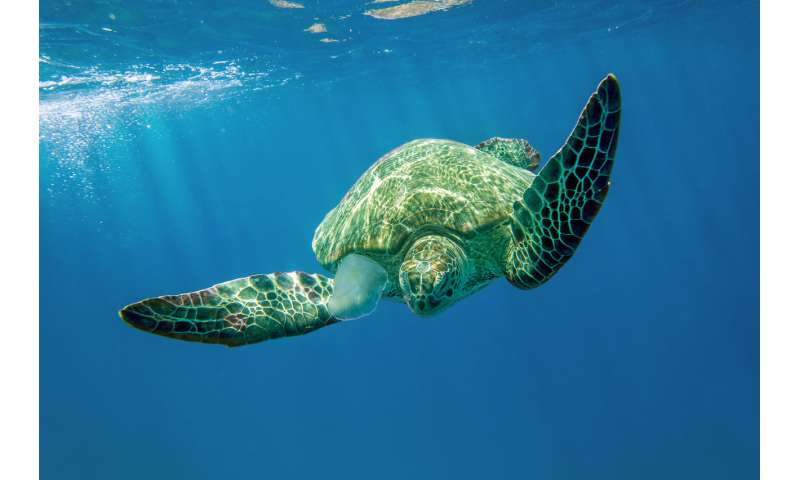 Microplastics may heat marine turtle nests and produce more females