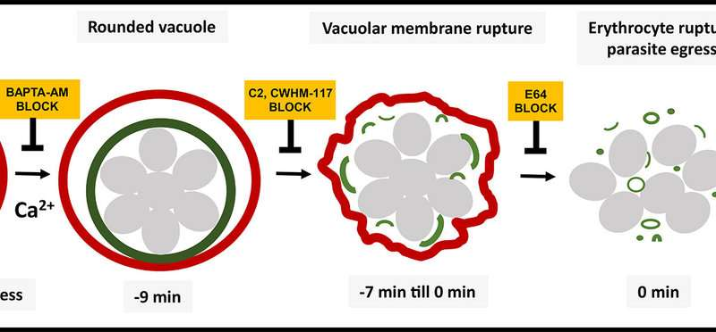 NIH researchers identify sequence leading to release of malaria parasites from red blood cells
