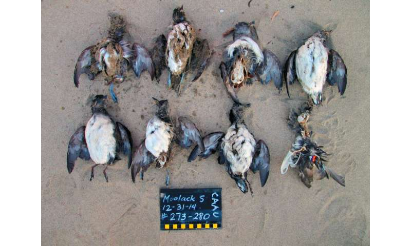 Ocean warming, 'junk-food' prey cause of massive seabird die-off, study finds