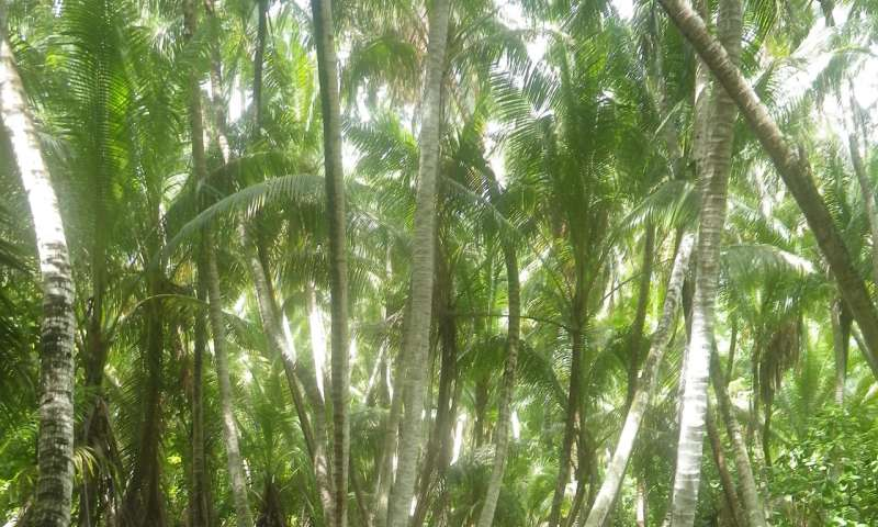 Researcher finds a cheap way to identify invasive coconuts from space