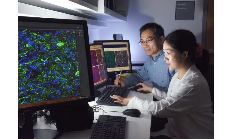 Scientists accidentally reprogram mature mouse GABA neurons into dopaminergic-like neurons