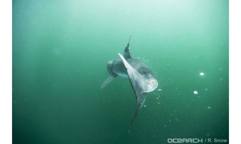 Study first to confirm where baby white sharks 'hang out' in the