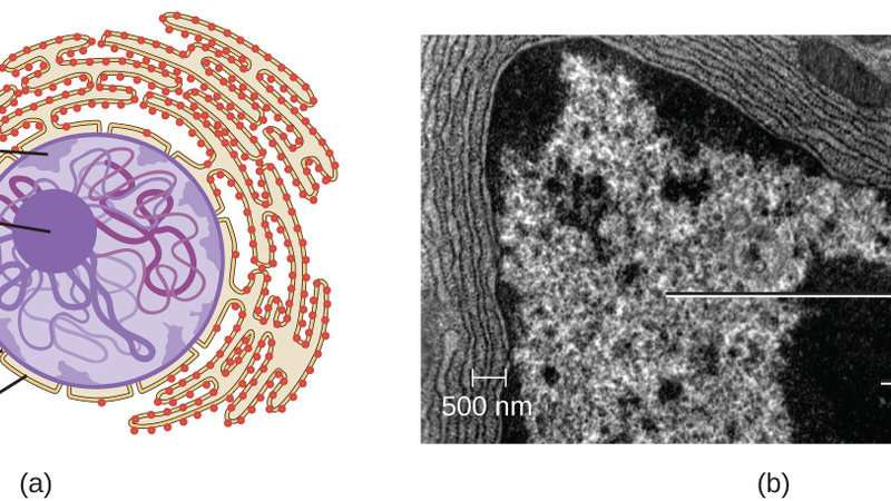 Synthetic organelle shows how tiny puddle-organs in our cells work