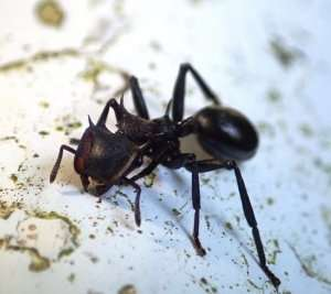 New research studies adhesiveness in ants as a way to improve synthetic adhesives