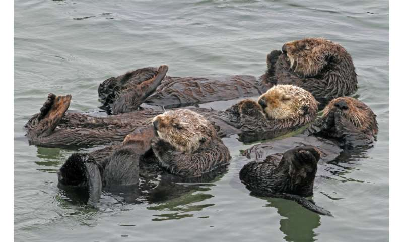 Researchers study how to improve southern sea otter survival