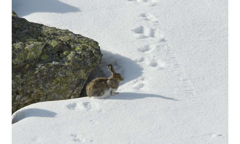 Climate change is shrinking mountain hares' habitat in the Alps