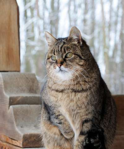 Researchers investigate obesity and diabetes in cats