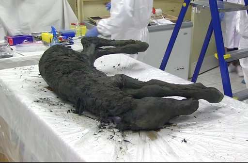 Scientists find perfectly preserved ancient foal in Siberia