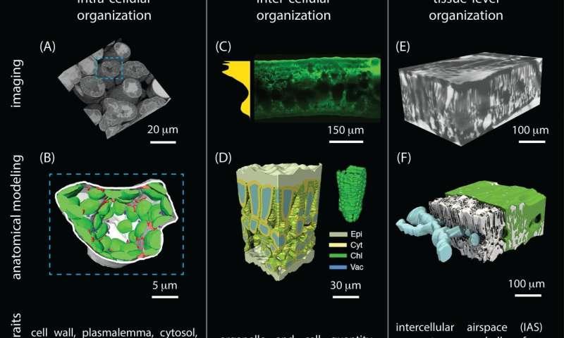 3D imaging opens door to better understanding of fascinating leaf complexity