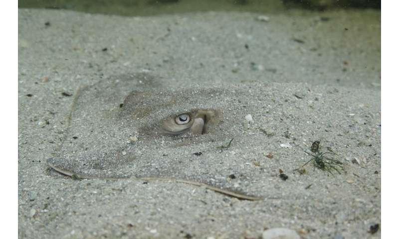 Deepwater Horizon oil spill's dramatic effect on stingrays' sensory abilities