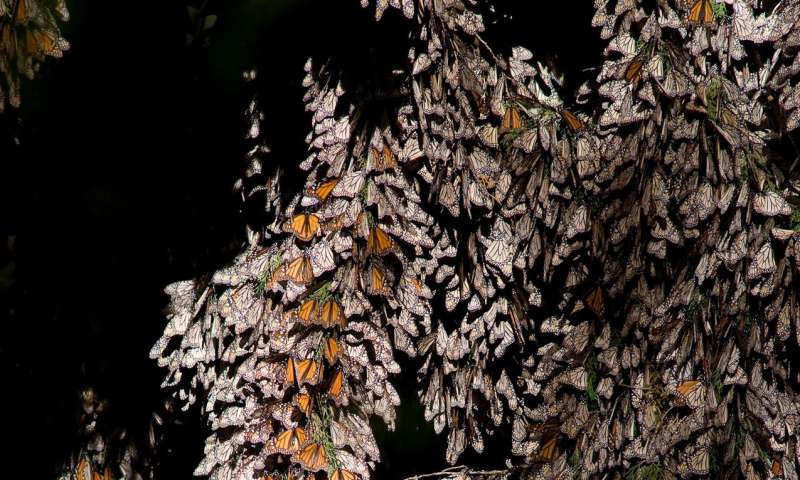 Deforestation drops by 57% in the winter habitat of the monarch butterfly in Mexico