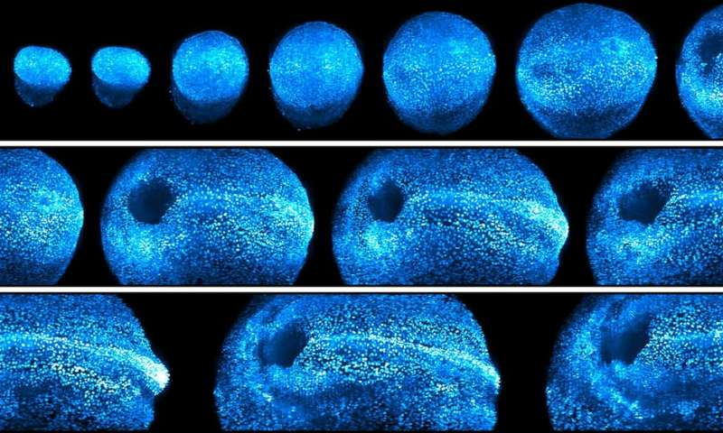 New microscope offers 4D look at embryonic development in living mice