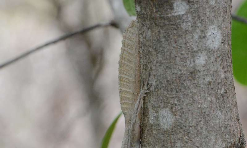 New study sheds light (and some shade) on anole diversification