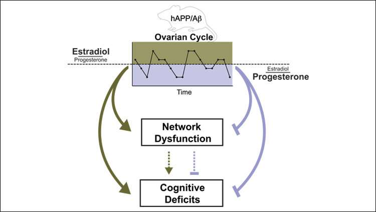 Reproductive cycle may foreshadow Alzheimer's disease