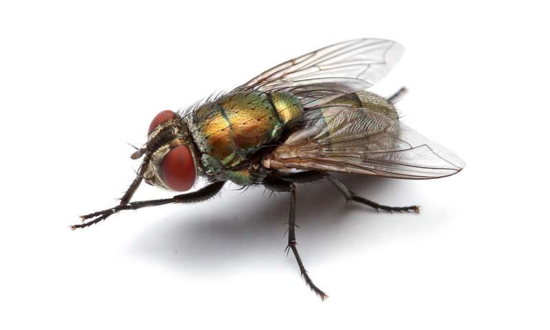 Researchers gain insight into chromosome evolution in flies