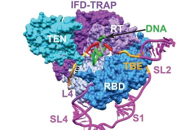 Scientists see inner workings of enzyme telomerase, which plays key roles in aging, cancer
