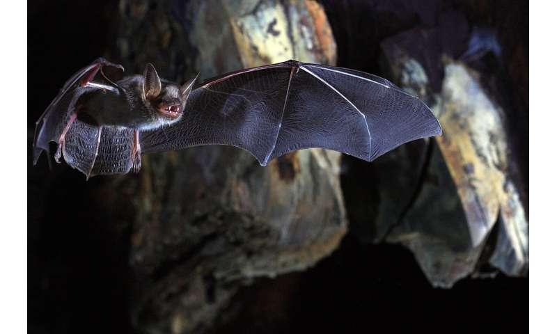 Scientists unlock the molecular secret behind long-lived bat species