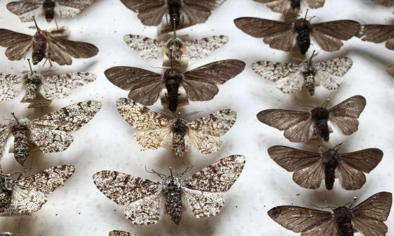 Study confirms truth behind 'Darwin's moth'