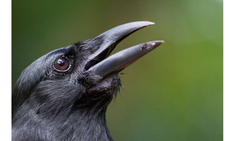 Researchers release endangered crows into the forests of South Pacific island