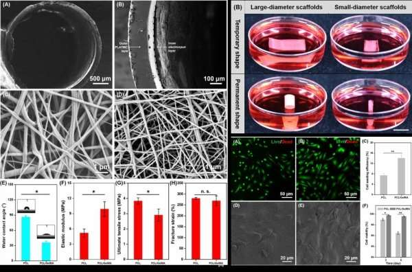 Researchers create new programmed shape-morphing scaffolds enabling facile 3-D endothelialization