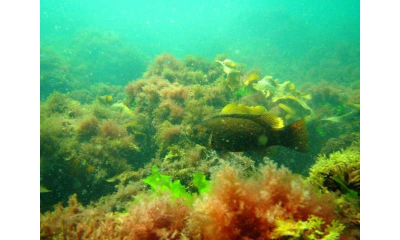 Researchers find invasive seaweed makes fish change their behavior