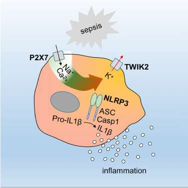 Researchers identify key protein involved in triggering inflammation