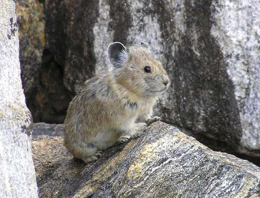 Allergies, glaciers, and pikas: climate change in action