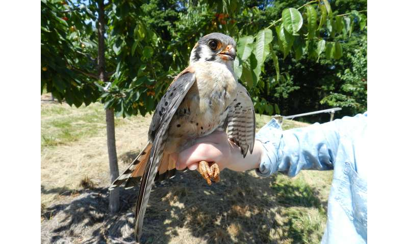 American kestrels provide important 'ecosystem services'