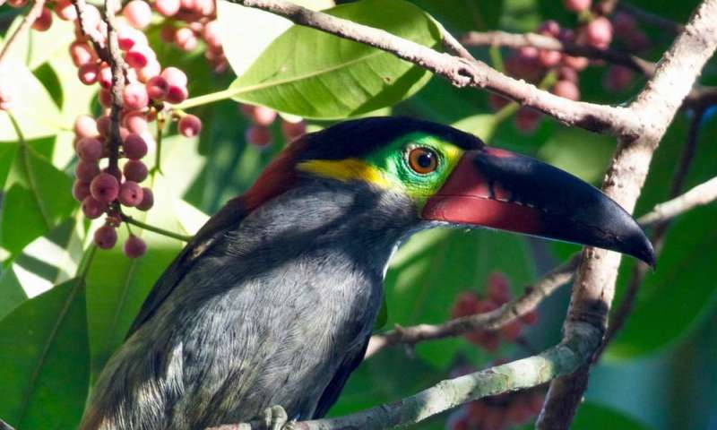 Bird DNA helps explain Amazonian rivers' role in evolution
