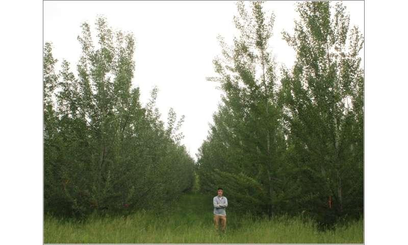Groundbreaking poplar study shows trees can be genetically engineered not to spread
