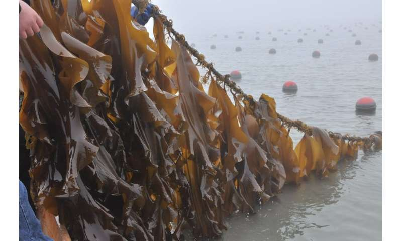 Ocean acidification will increase the iodine content of edible seaweeds and their consumers