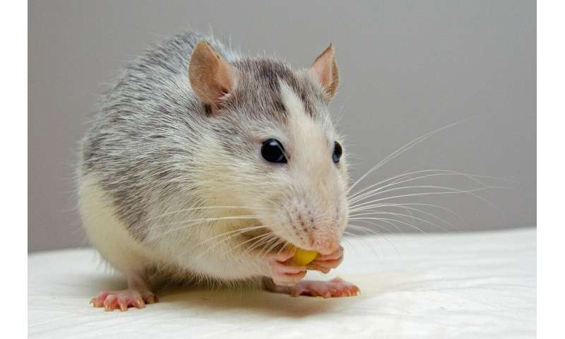 Study shows city rats eat better than country rats