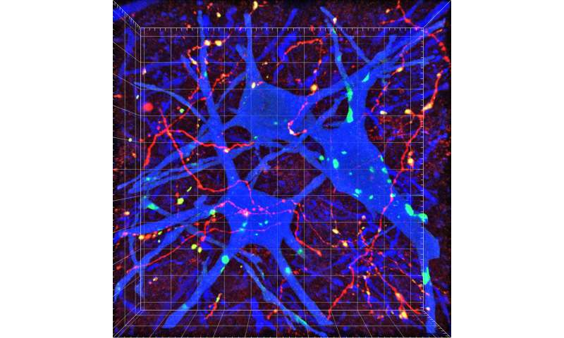 Scientists map key brain-to-spinal cord nerve connections for voluntary movement