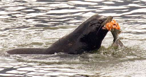 Sea lions gobbling fragile fish in US Northwest survival war