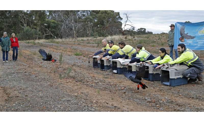500th rehabilitated black cockatoo released into wild