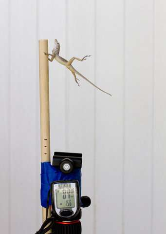 Researchers use leaf blower to see how lizards endure storms