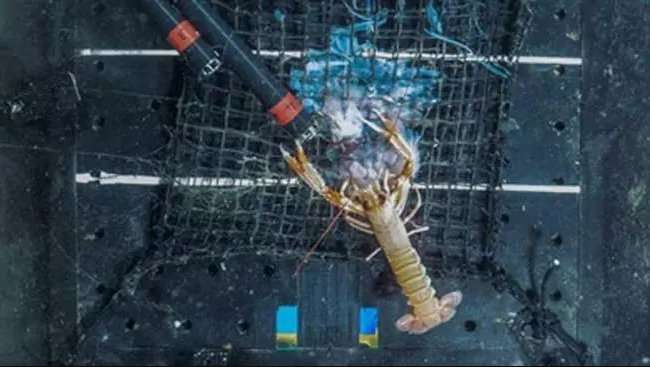 Norway lobsters' appetite for jellyfish caught on camera