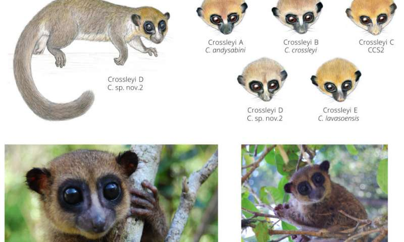 New species of lemur found on Madagascar