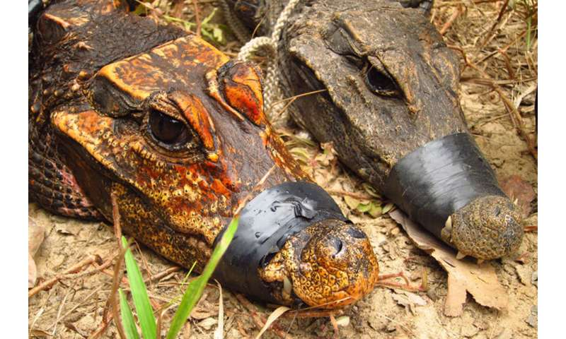 Strange orange cave dwelling African dwarf crocodiles could be evolving into a new species 5a71c7379f671