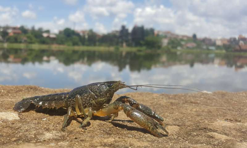 A clonal crayfish from nature as a model for tumors