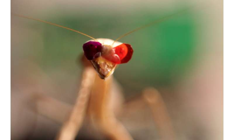 Praying mantises have a unique way of seeing in 3D