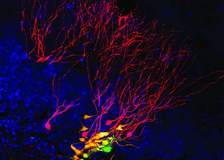 adults cells Brain stem in