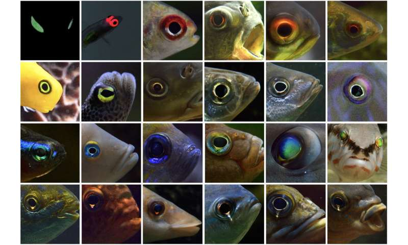 Triplefin fish found to have controlled iris radiance