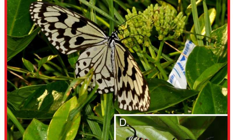 Plants evolve away from obsolete defenses when attacked by immune herbivores, study shows