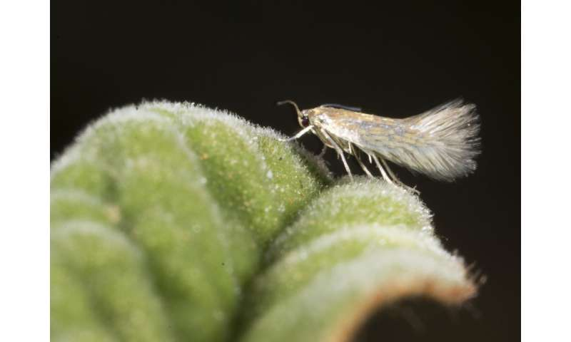 It's not only size, but scales that matter in some male moth antennae
